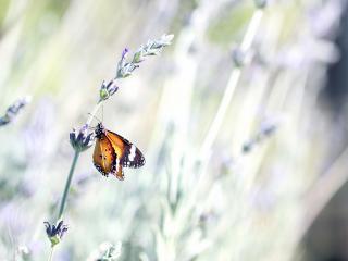 обои На стебельке бабочка фото