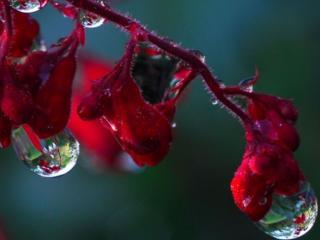 обои Капли на красном цветке фото
