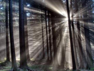 обои Видны лучи солца в лесу сосновом фото