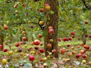 обои Падающие яблоки фото