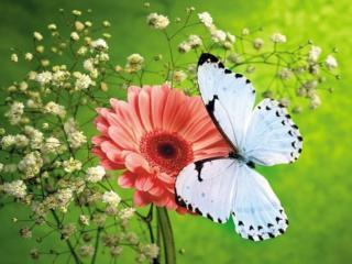 обои Светло-голубая бабочка фото