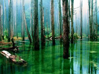 обои Затопленный лес с трясинами фото