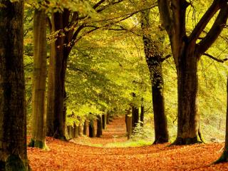 обои Ряды деревьев желтой осенью фото