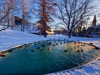 обои Утки на зимнем пруду фото