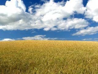 обои Бескрайнее поле пшеницы фото
