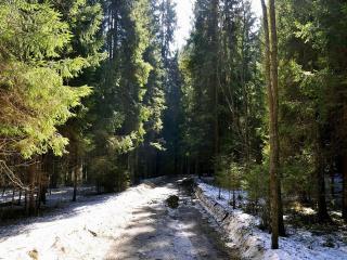 обои Дорога через сосновый лес в конце зимы фото
