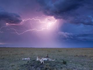 обои Отдыхающие леопарды и молния на небе фото