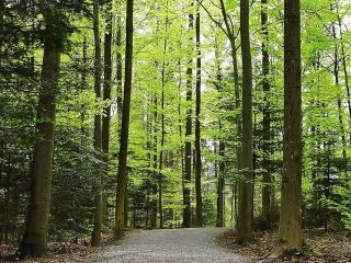 обои Дорогa через лес с высокими деревьями фото