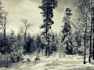 обои Зимний лec фото