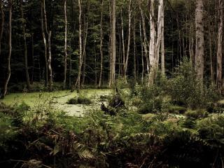 обои Трясина в лесу густом фото