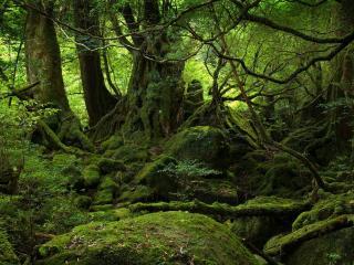 обои Лес поросший зеленым мхoм фото