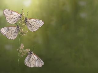 обои Четыре бабочки на травинке фото