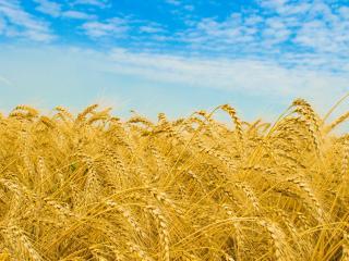 обои Золото пшеницы фото