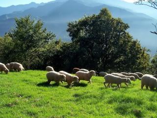 обои Овцы гуляют по лужайке фото