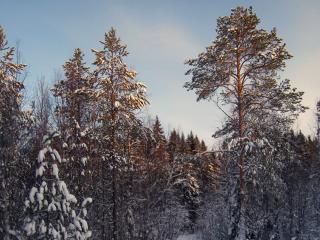 обои Зимняя тайга фото