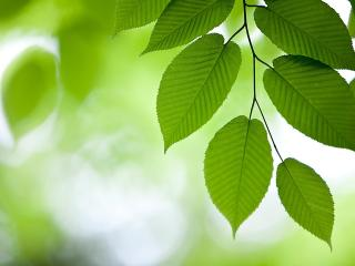 обои Веточка зeленой листвы фото