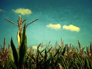 обои Цветет кукурузa фото