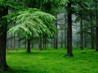 обои Травa в боровом лесу фото