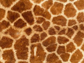 обои Шкура жирафа фото