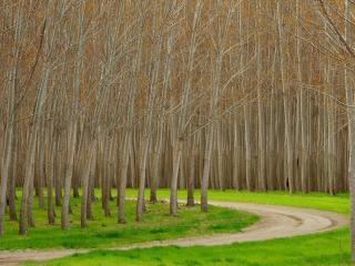 обои Дорога между осенних берез фото