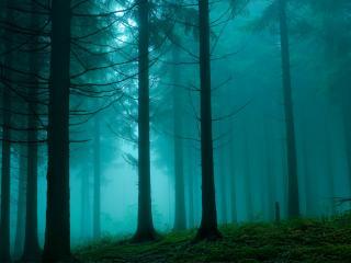 обои Дремучий,   сосновый лес фото