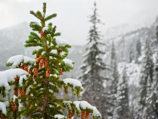 обои Елка с шишками зимой фото