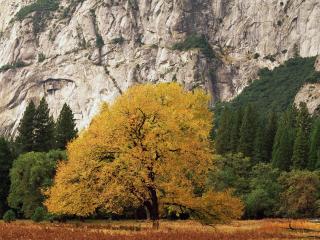 обои для рабочего стола: Желтеющее дерево под скалой