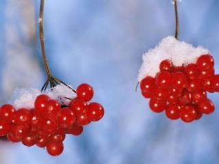 обои Красные ягоды в снегу фото