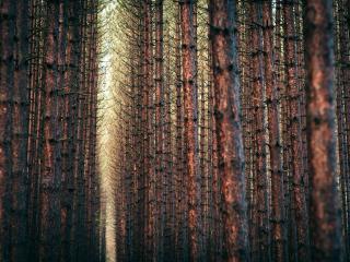 обои Густой лес сосновый с ровными деревьями фото