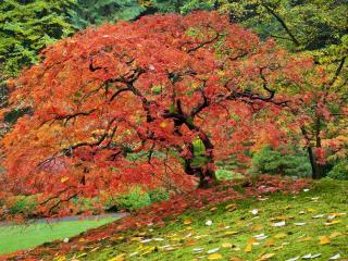 обои для рабочего стола: Дерево с красными листьями