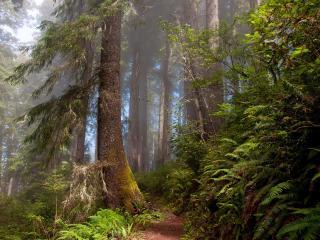 обои Дремучий лес с высокими соснами фото