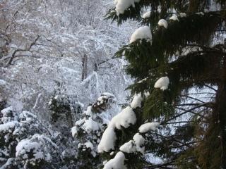 обои Ёлки и снег фото