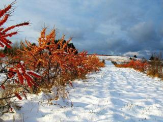 обои Облепиха в снегу фото