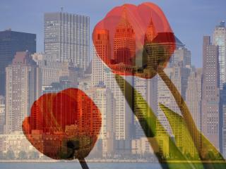 обои На фоне горада два тюльпана фото