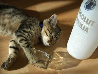 обои Пьяный котик фото