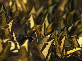 обои Черная бабочка среди желтых фото