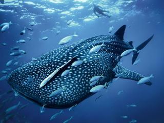 обои Китовая акула фото
