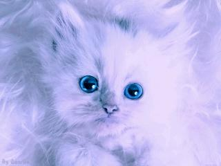 обои Белый котенок с голубыми глазами фото