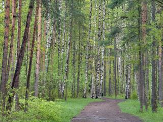 обои Тропа через лес с соснами и березами фото