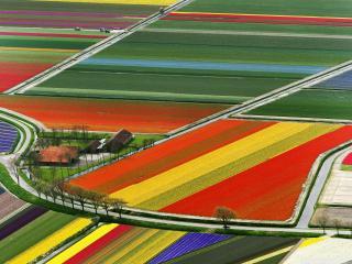обои Поля тюльпанов разноцветных фото