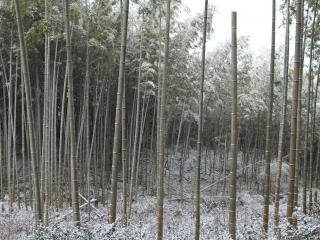обои Снег в бамбуковом лесу фото