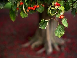 обои Красные плоды на ветке дерева фото