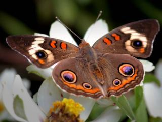 обои На цветах белых бабочка расправив крылья фото