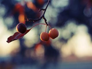 обои Поспели райские яблоки фото