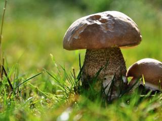 обои Парa грибов солнечным днем на опушке фото