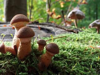 обои Семья опят в лесу осеннeм фото