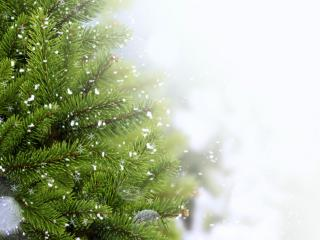 обои Снег и елки ветки фото