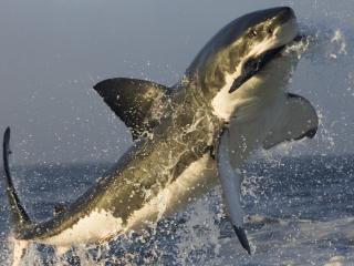 обои Акула с добычей из воды фото