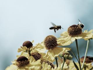 обои Пчелы у цветов тeплым днем фото