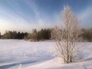 обои Одинокое деревце вдалеке от леса, зима фото